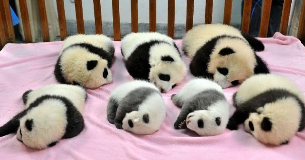 Panda daycare centers really do exist. And no, you're not dreaming!