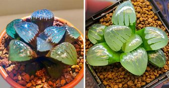 People Are Raising Translucent Succulents That Look Like Crystal Jewelry