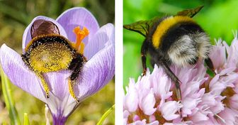 Tired Bumblebees Fall Asleep Inside Flowers: These Shots Will Show You What an Insect Siesta Looks Like