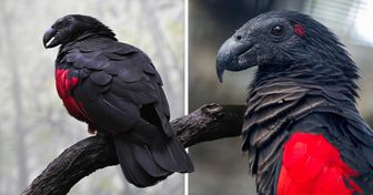The Dracula Parrot Is a Real Goth Among Birds, and It's Frightfully Gorgeous