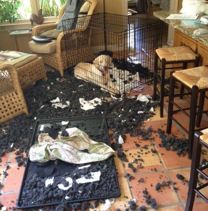 20 bé thú cưng với khuôn mặt ngây thơ vô số tội sau khi đã quậy banh cái nhà của sen 11