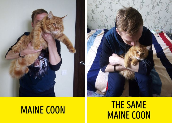 9 Facts About Maine Coon Cats That Breeders Don T Talk About