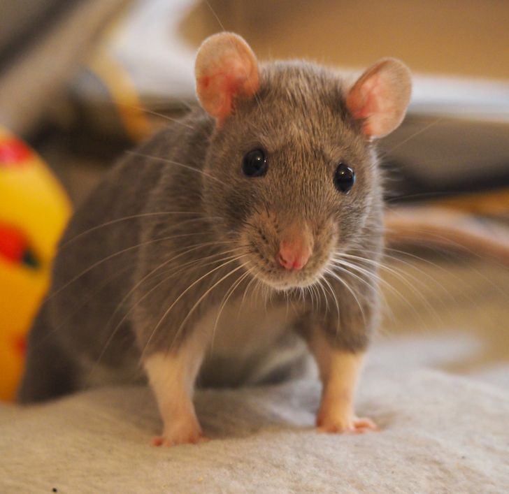 20 Rat Pics That Will Make You Squeal With Their Cuteness