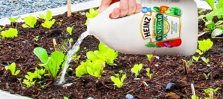 Put Vinegar onYour Plants and This Will Happen