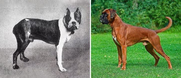 How Dog Breeds Have Changed Over the Last 100 Years
