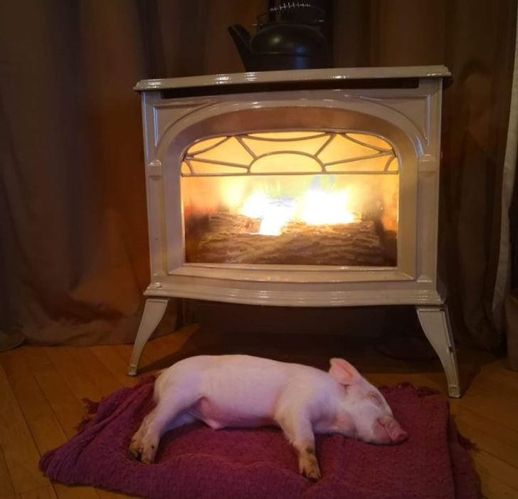 """19 """"Pigtures"""" Showing Why You May Want to Adopt a Piggy"""