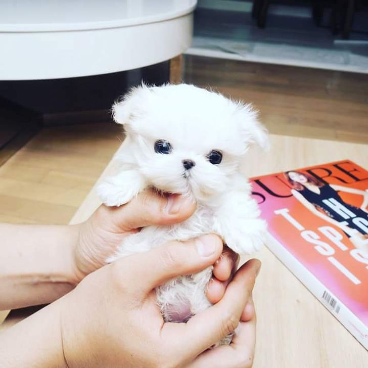 30 Teacup Puppies That Are So Plushy You Won't Believe They're Real