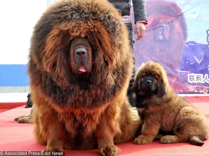 The10 Most Expensive Dogs inthe World That Are Incredibly Charming