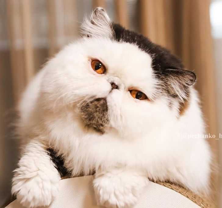 Meet Zuu, a Cat Whose Fed Up Face Is So Relatable It Hurts (20 Pics)