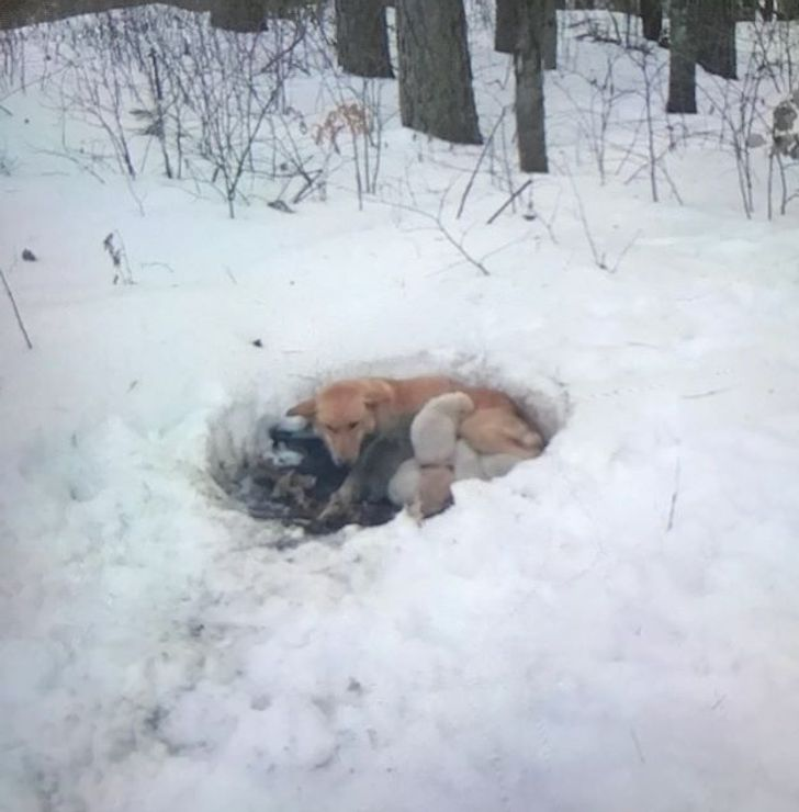 Meet Snowbelle, a Hero Mama of the Animal World That Lived in a Snow Drift With 6 Puppies