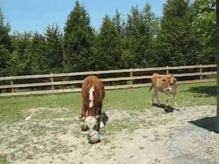 20 Hysterical Times Cows Thought They Were Dogs. Now Imagine Their Owners' Lives