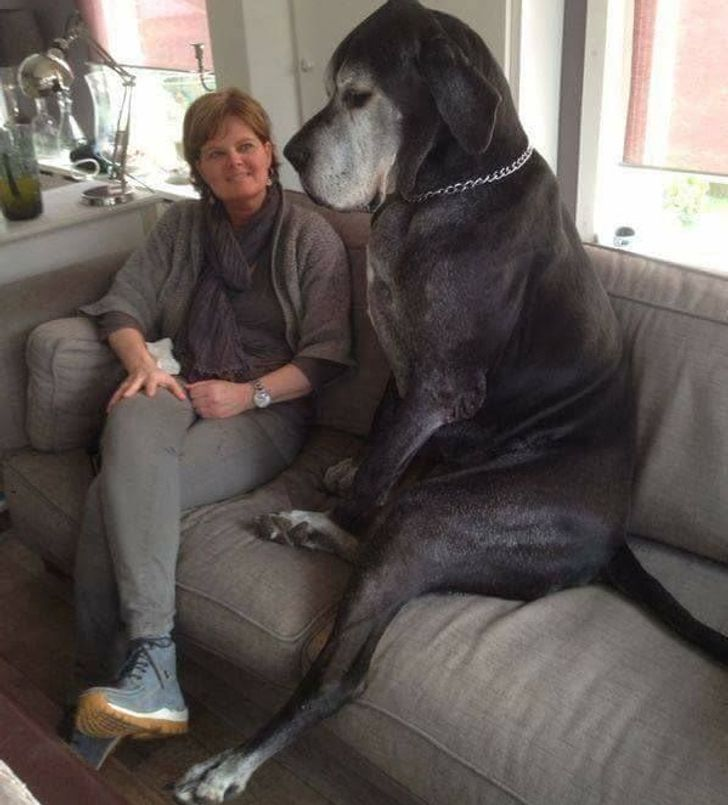 20 Overgrown Pets Who Have No Idea How Big They Are
