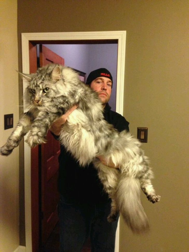 21 Majestic Maine Coon Cats That Will Show You Who S The Boss