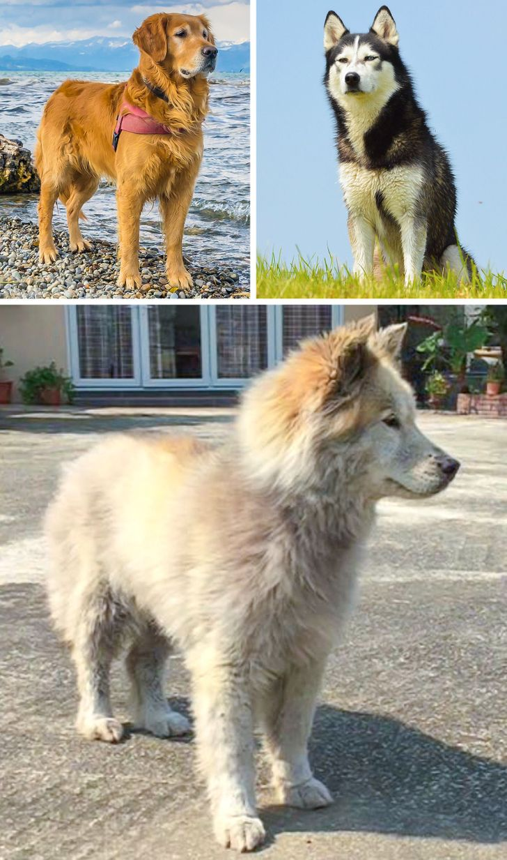 17 Crossbreeds That Are Just as Beautiful as Purebred Dogs