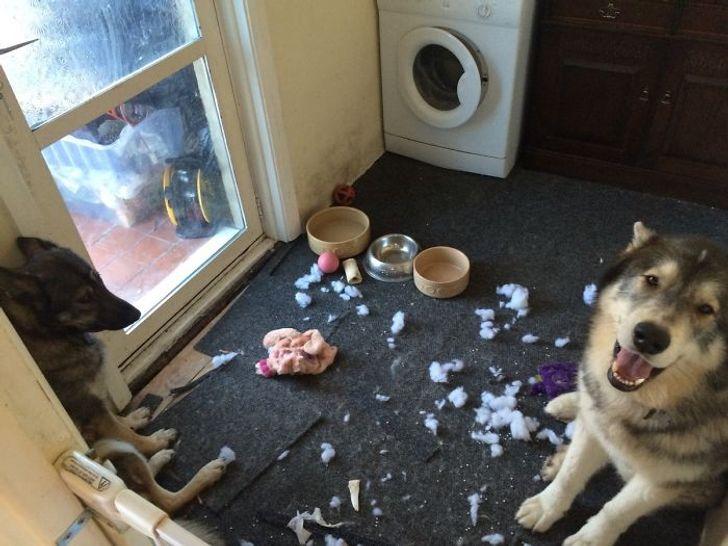 20 bé thú cưng với khuôn mặt ngây thơ vô số tội sau khi đã quậy banh cái nhà của sen 10