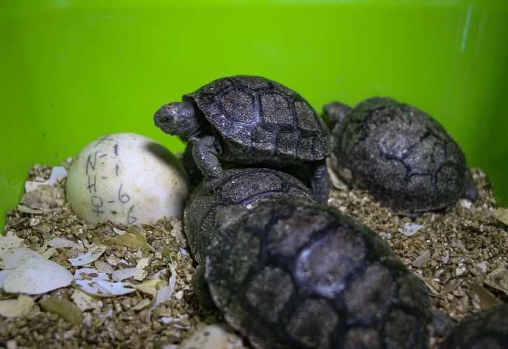 A 100-Year-Old Giant Tortoise Fathers 800 Babies and Saves His Species From Going Extinct
