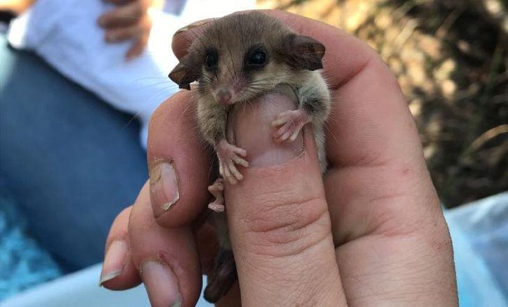 V Austrálii bolo po ničivých požiaroch zázračne znovuobjavené drobné vačica