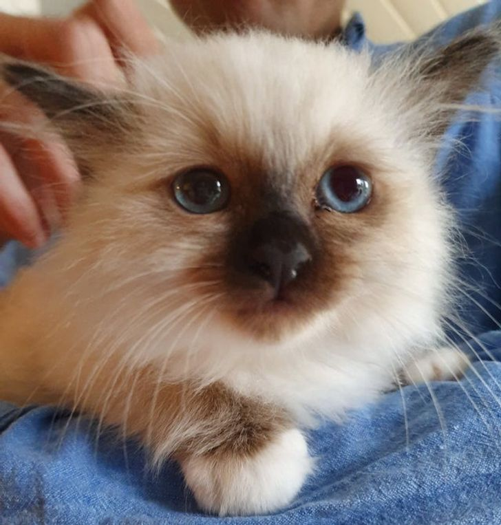 Not All Cats Are Jerks 15 Friendly Cat Breeds That Will Actually Give A Fluff About