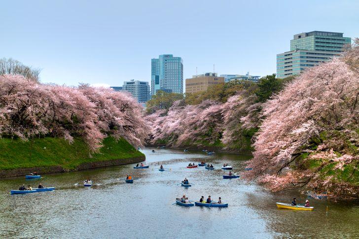 12magical photos ofcherry blossoms