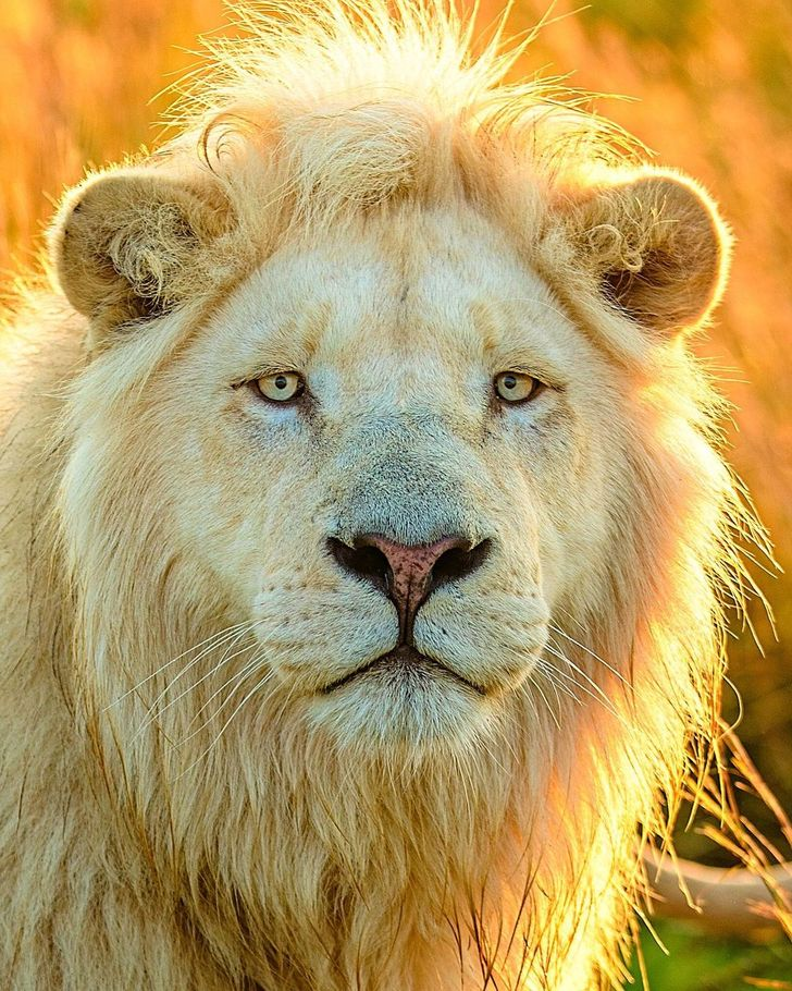 A Photographer Immortalizes the Beauty of a White Lion From Every Angle