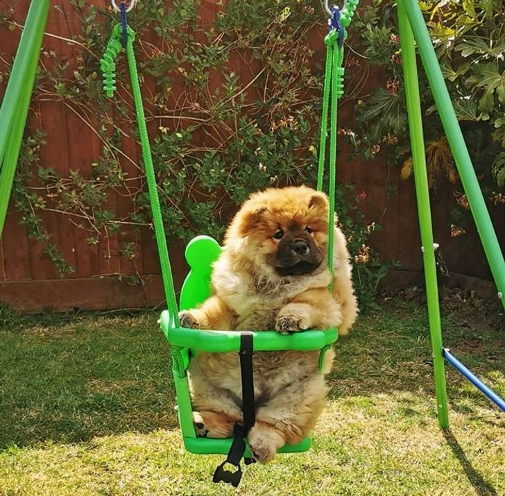 20 Reasons Why a Chow Chow Can Be Both a Fluffy Disaster and a Hurricane of