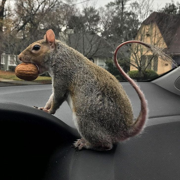 A Rescue Squirrel Likes to Travel and Follows Her Human Buddy Everywhere