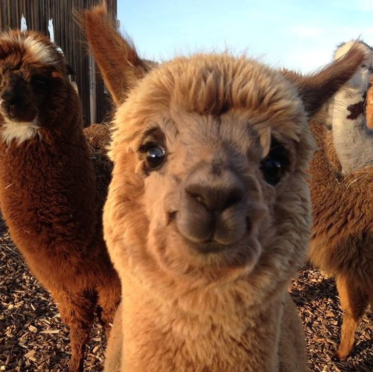 20 Photos of Alpacas That Will All Put a Smile on Your Face