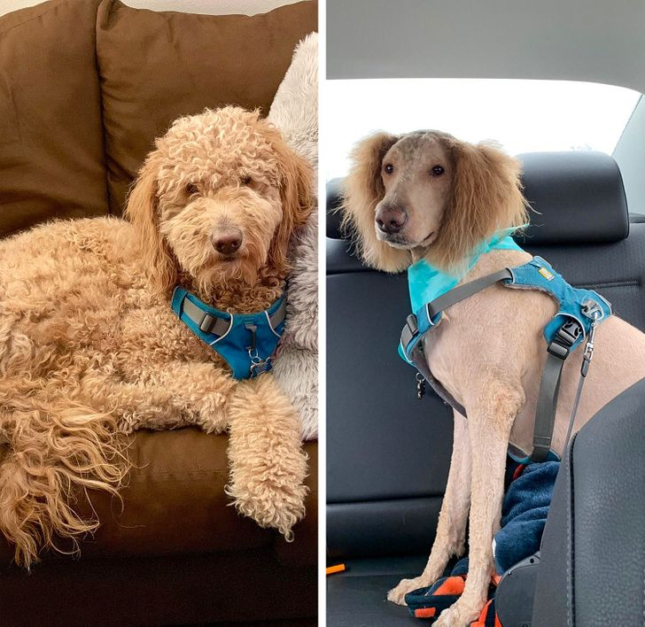 20 majiteľov domácich miláčikov, ktorí po zastrihnutí dostali úplne nového psa