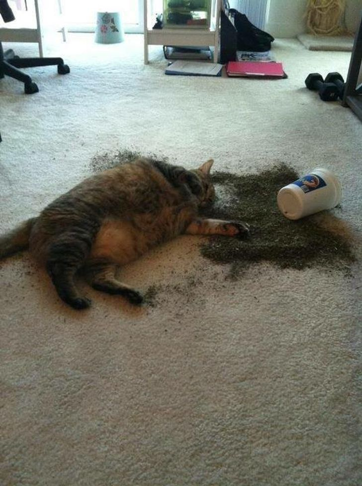 19Kitties That Can GoWild With orWithout Catnip
