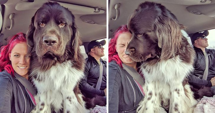 People Are Posting Photos of Their Newfoundlands to Show the World How Ginormous They Really Are