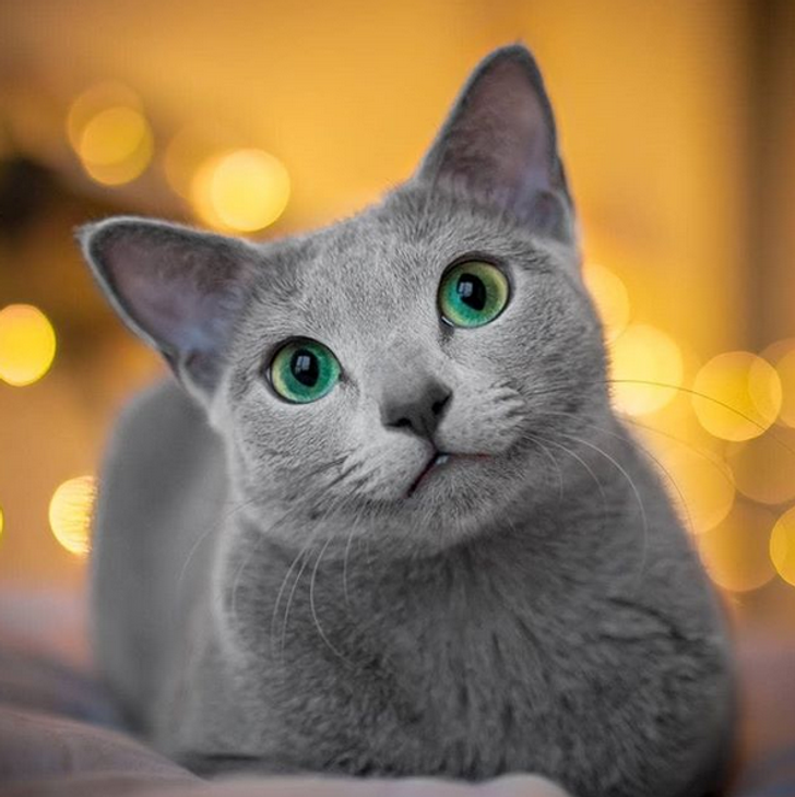 15 Cat Breeds That Can Make Even Ardent Dog Lovers Fall For Them